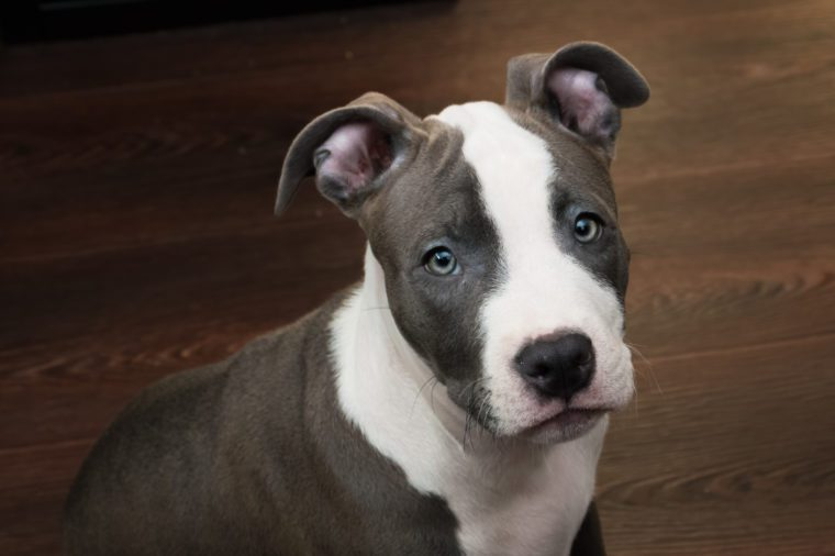 White and gray color Pitbull puppy sitting on a dark wood floor background. Blue nose staffordshire
