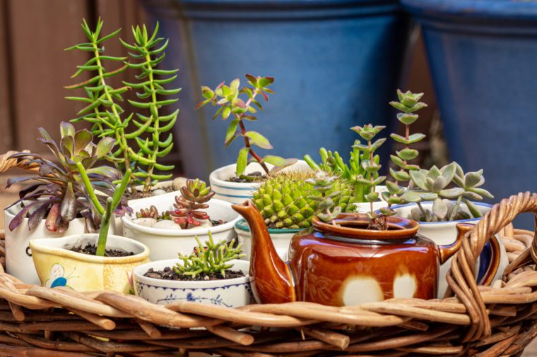 close up view of succulents potted in old cups, jug and tea pot on wicker tray in garden, alternative to plastic pots, recycle, upcycle and resuse for sustainable living