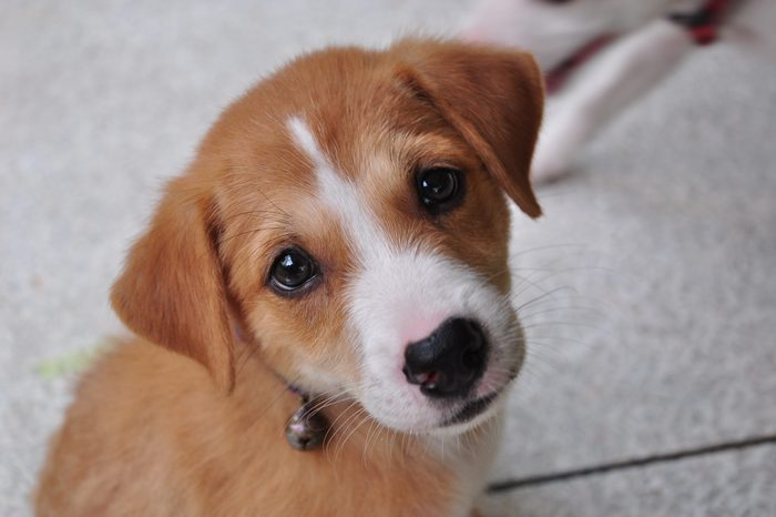 Brown puppy with white nose looking into camera with sad begging eyes