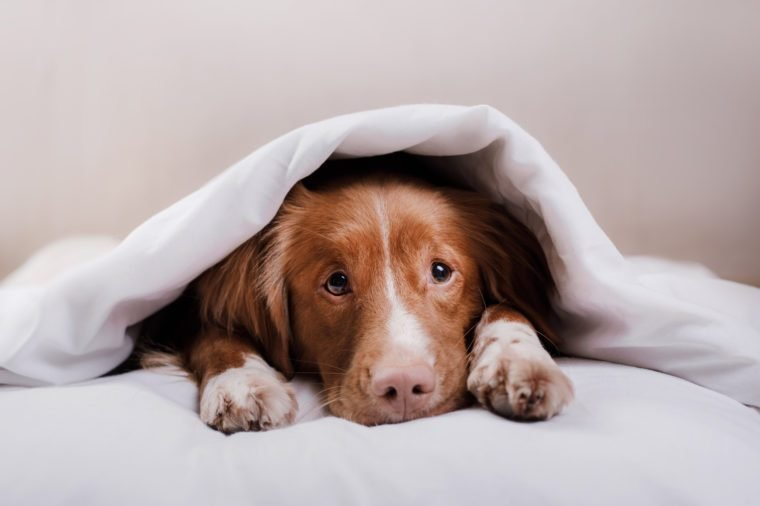 sweet red dog peeks out from under the blankets. Pet lies on the bed