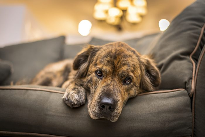 Adorable, but sad and lonely dog laying down on the sofa.