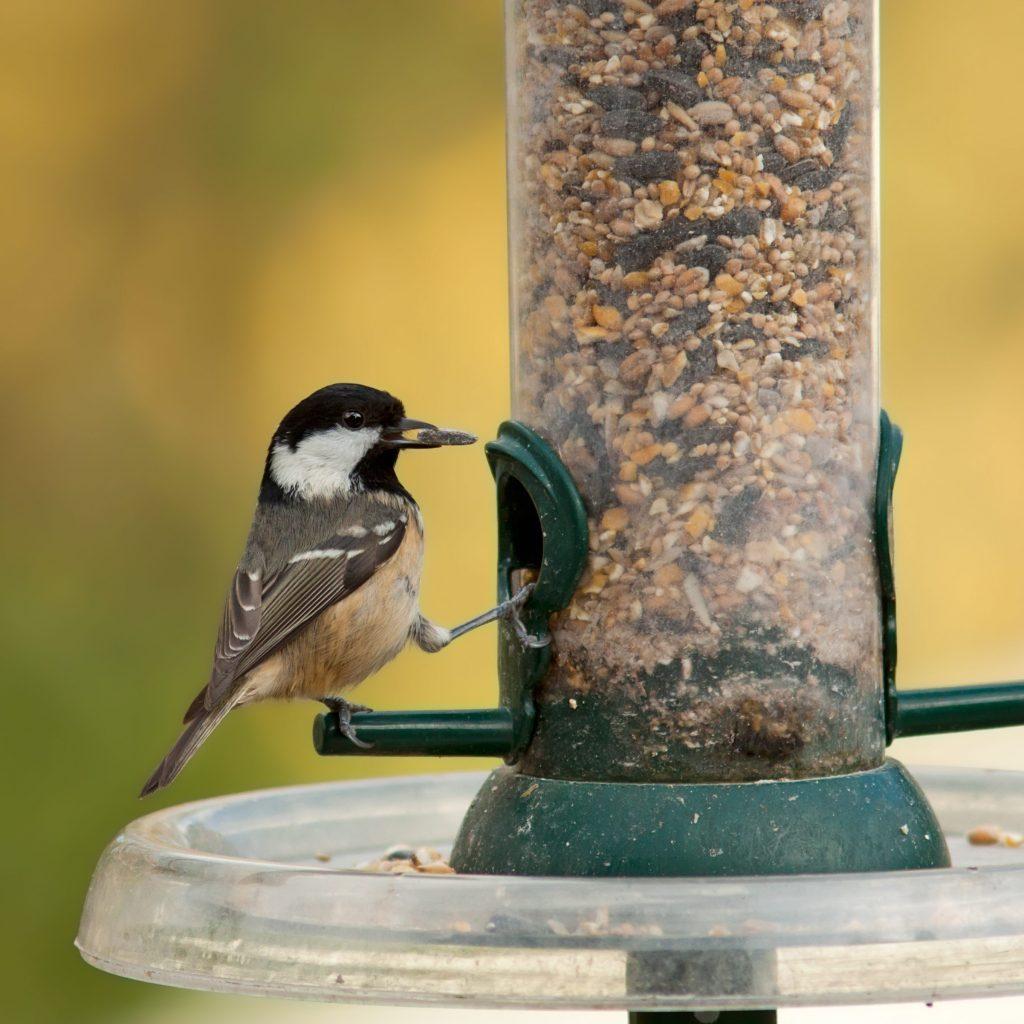 Coal Tit on a garden bird feeder