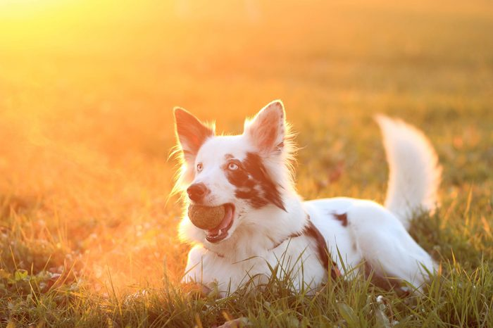 A border collie holding a ball in the mouth during the sunset