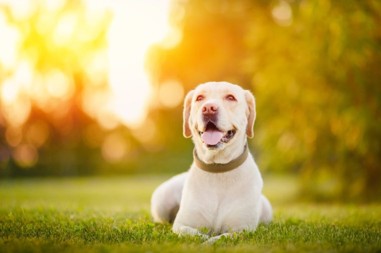Happy purebred labrador retriever dog outdoors lies on grass park sunset summer day.