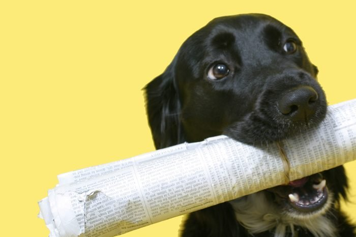 black dog with newspaper on yellow background