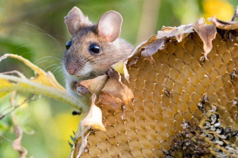 harvest mouse on a sunflower