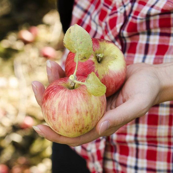 Girl picking fresh gravenstein apples from an orchard