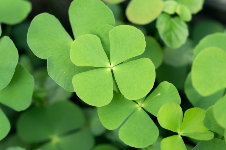 4 leaf clover good luck