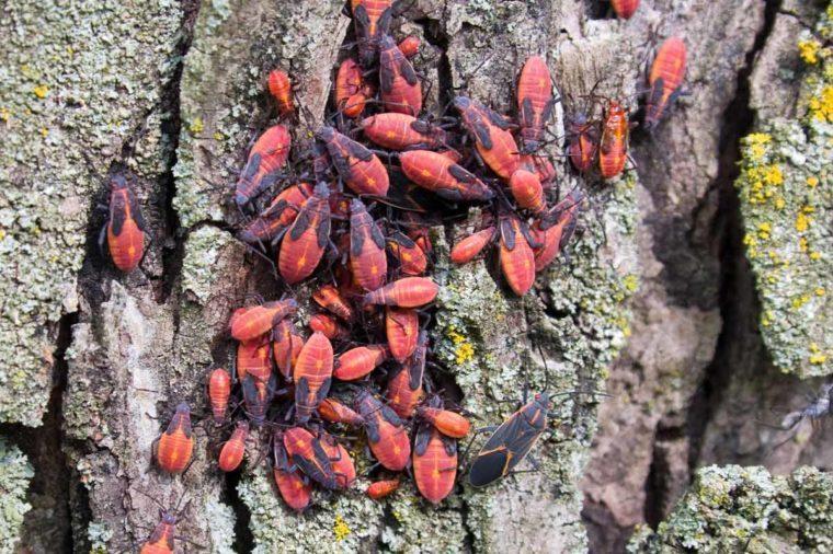boxedler bugs
