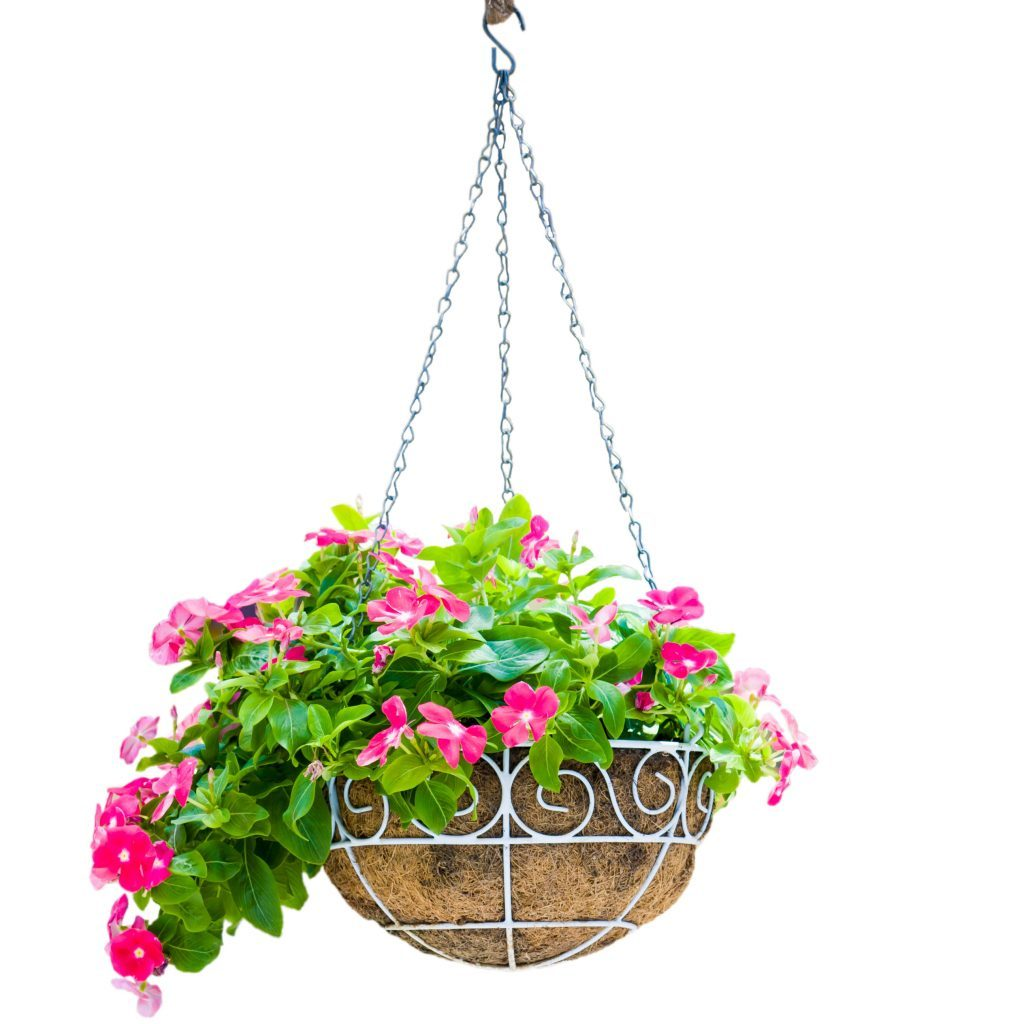 Pink flower pot hanging isolation on white background