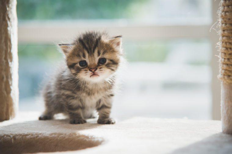 Cute persian kitten walking on cat tower