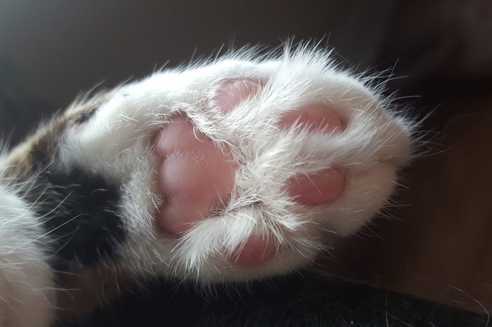 bottom view of a cat foot showing the toes, also know as bean toes or toe beans. The paw is white while the bean toes are pink.