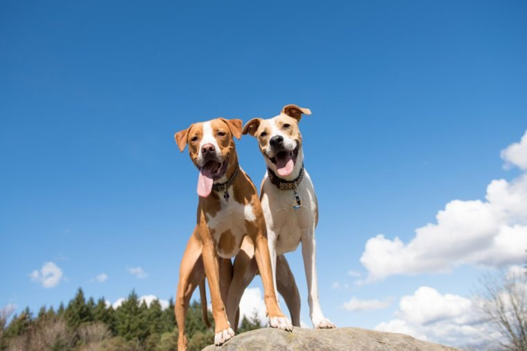 Two Young Dogs Enjoying Sunny Weather in Off-Leash Park Standing on Large Rock