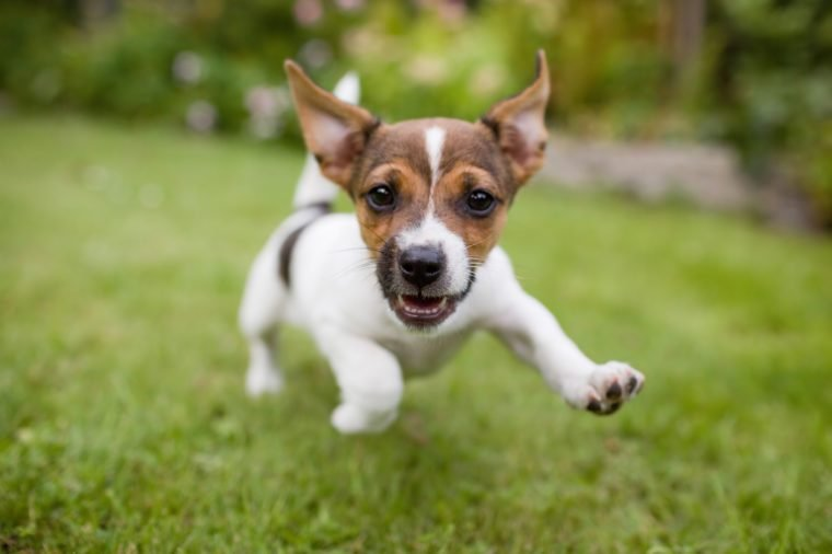 A very little puppy is running happily with floppy ears trough a garden with green grass. It almost looks like he can fly. He smiles and shows his tiny canine teeth.