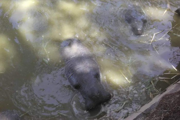 meeting manatees