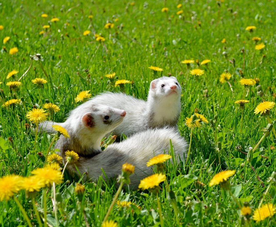 two white and gray ferrets frolicking in a field of dandelions on a sunny day