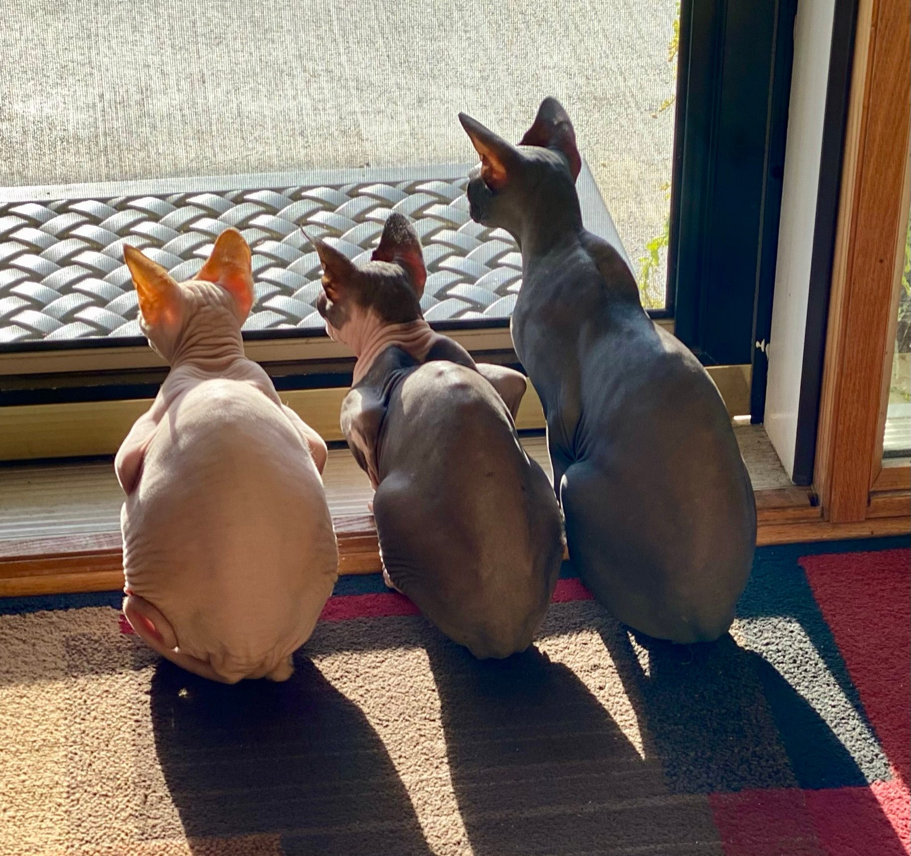 rear view of three hairless cats sitting in a row and staring intently out a glass door