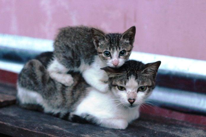 kitten sitting on older cats back