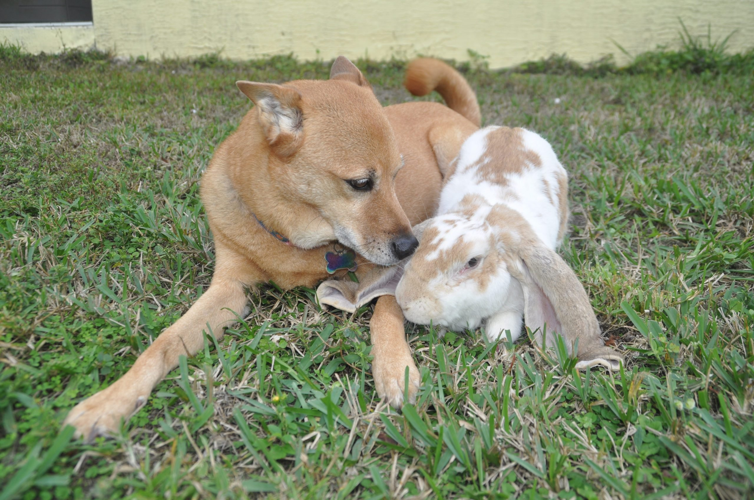dog and bunny nuzzle in the grass