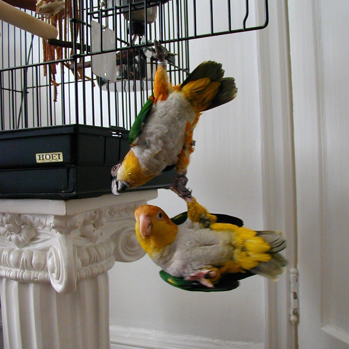 one parrot hanging onto another parrot who is hanging onto the bars of their open cage