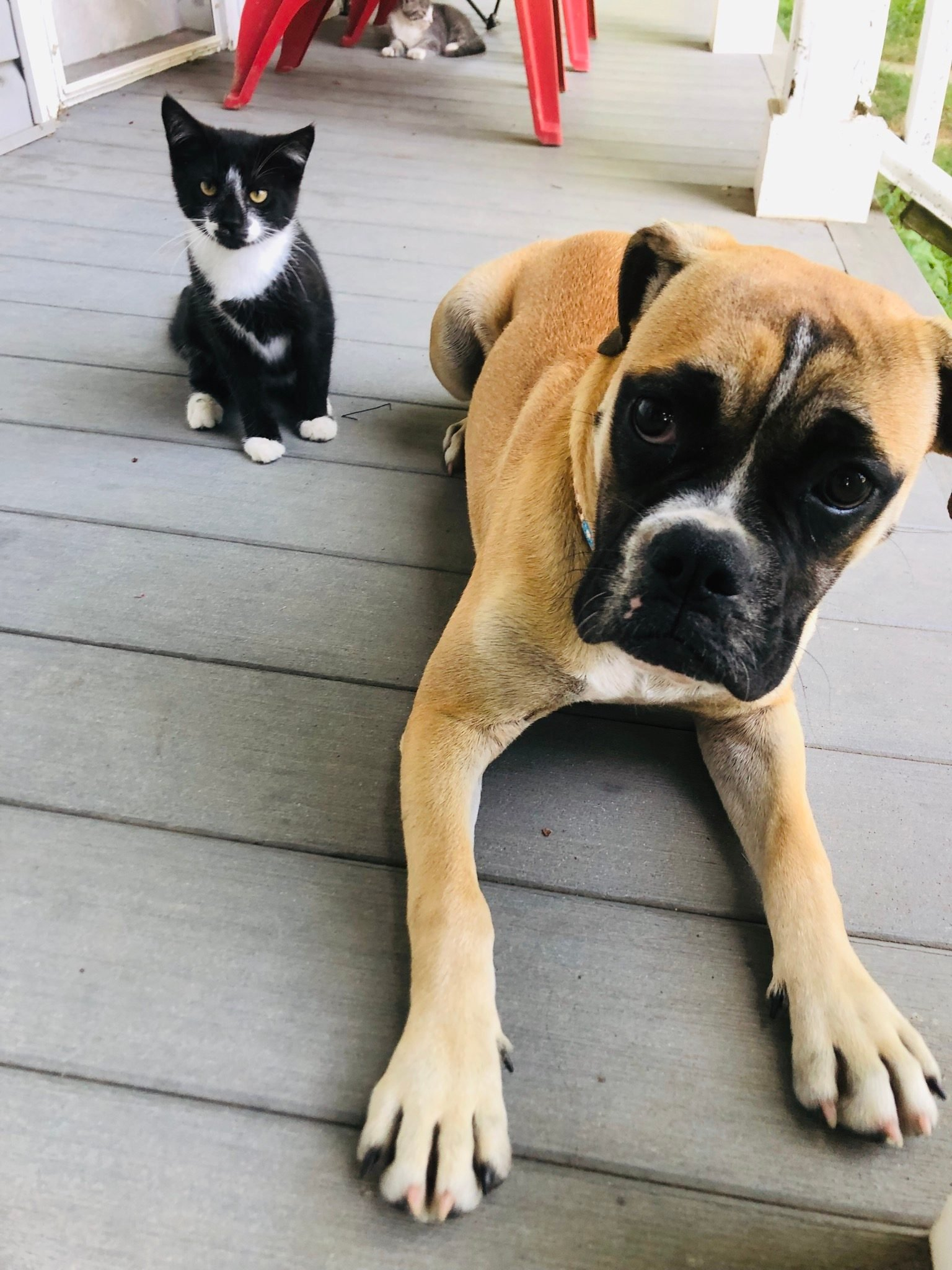 small kitten and larger dog on a front porch