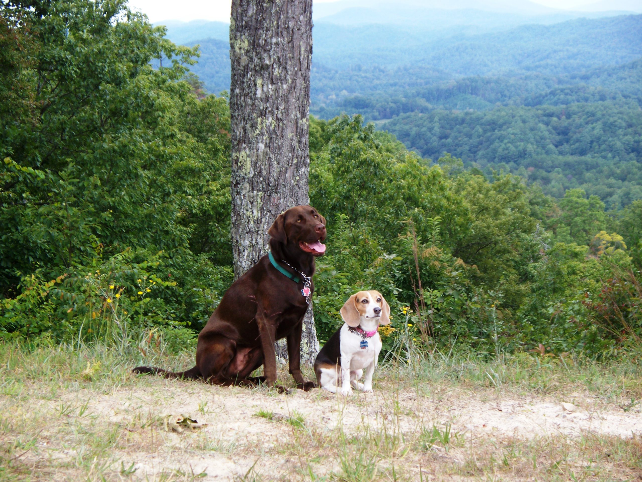 lab and beagle dogs pose together on a grassy hiking trail