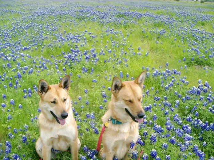 two dogs in a field of flowers