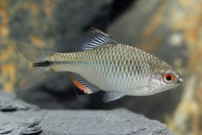 Tanakia himantegus(Taiwan bitterling), male
