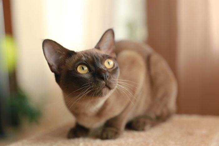 The burmese cat at home.; Shutterstock ID 1387238975; Job (TFH, TOH, RD, BNB, CWM, CM): RD
