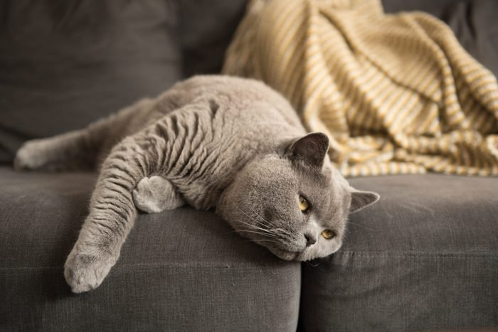 A British Shorthair cat looks away as she lies on the edge of a grey sofa in a house in Edinburgh City, Scotland, UK, where, where a yellow blanket can be seen in the background