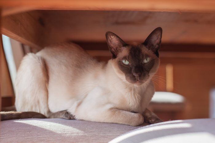 Chocolate Cream coloured Tonkinese Cat sitting on a chair under the table