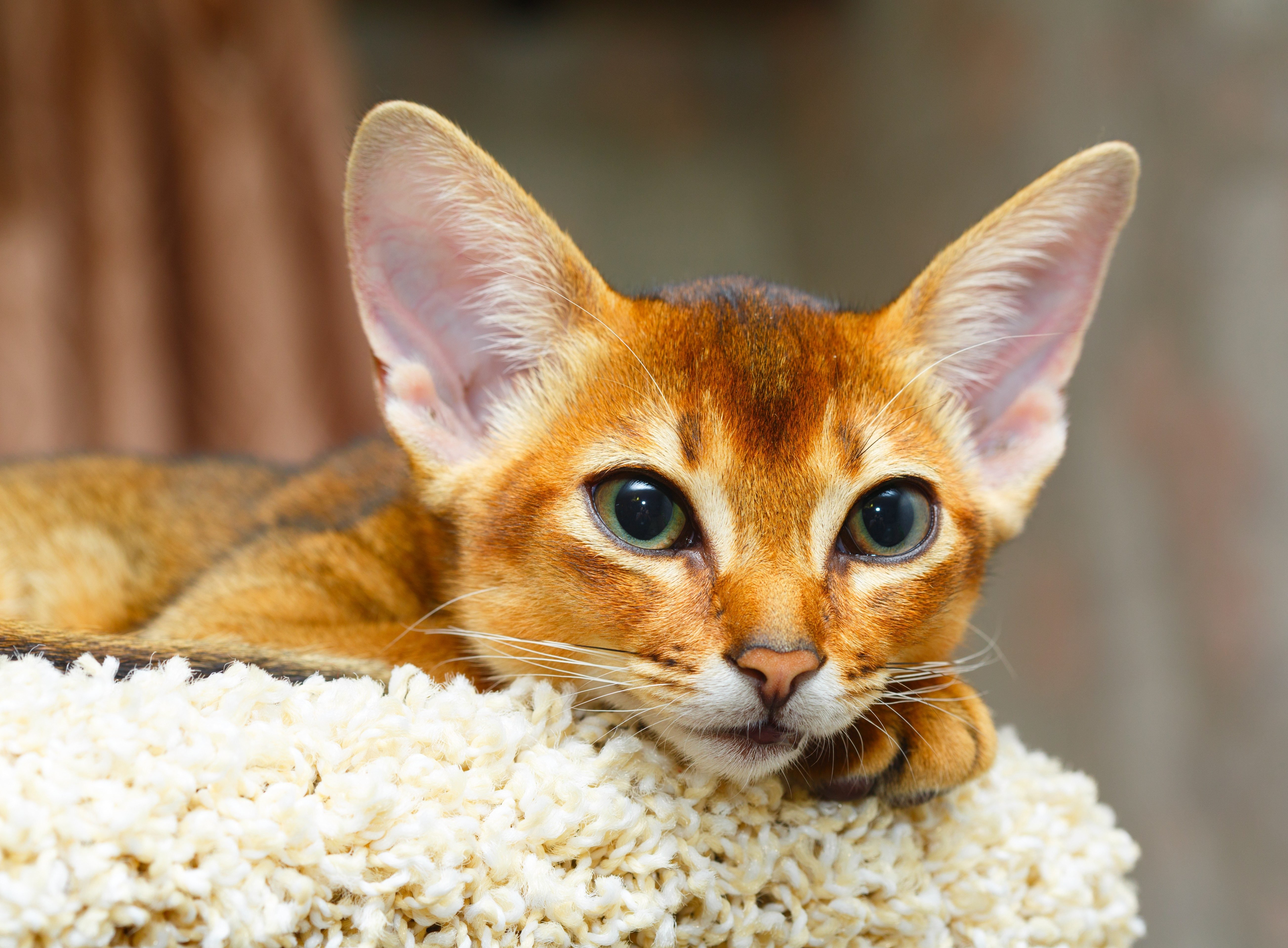 Young abyssinian cat lying at cat tree furniture