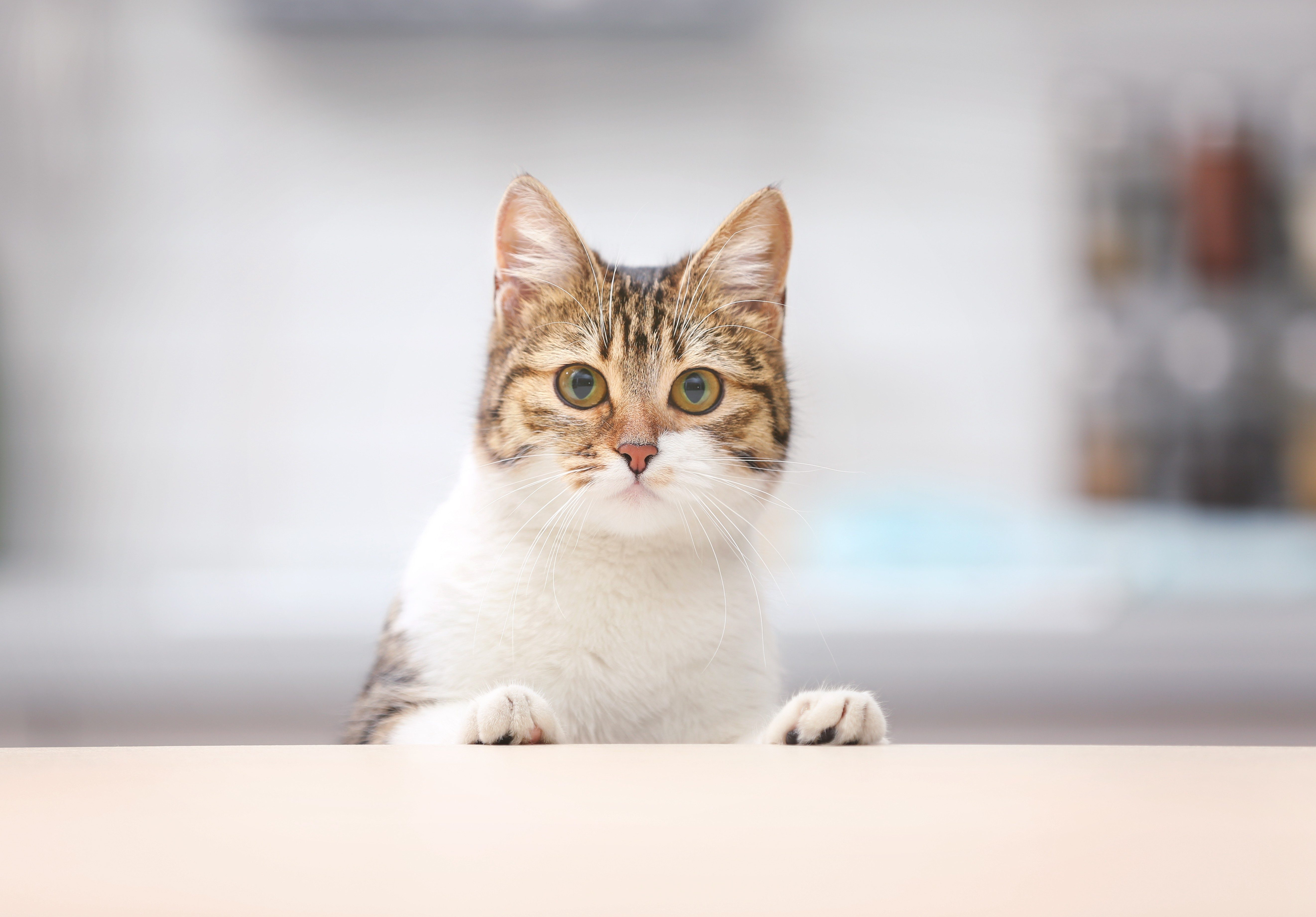 Cute funny cat at kitchen table on blurred background