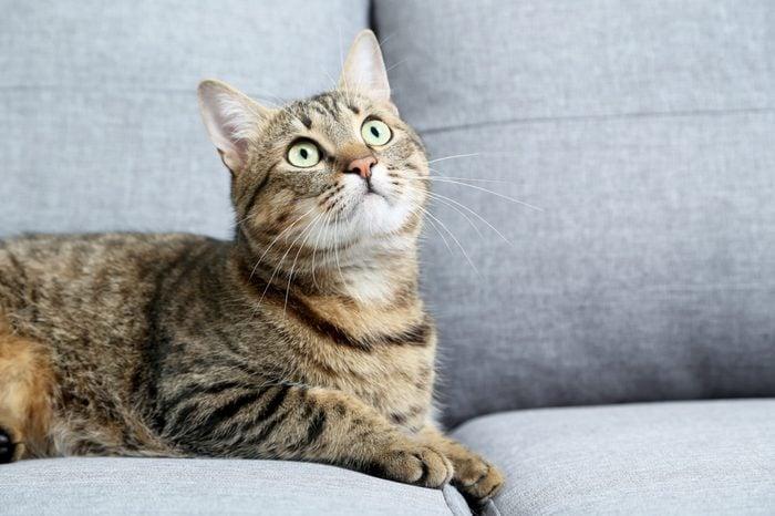 Beautiful cat lying on the grey sofa