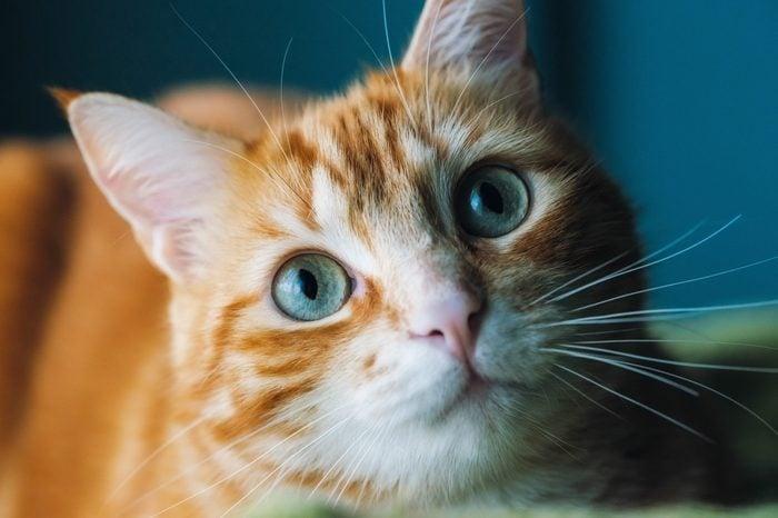 Ginger cat portrait at home