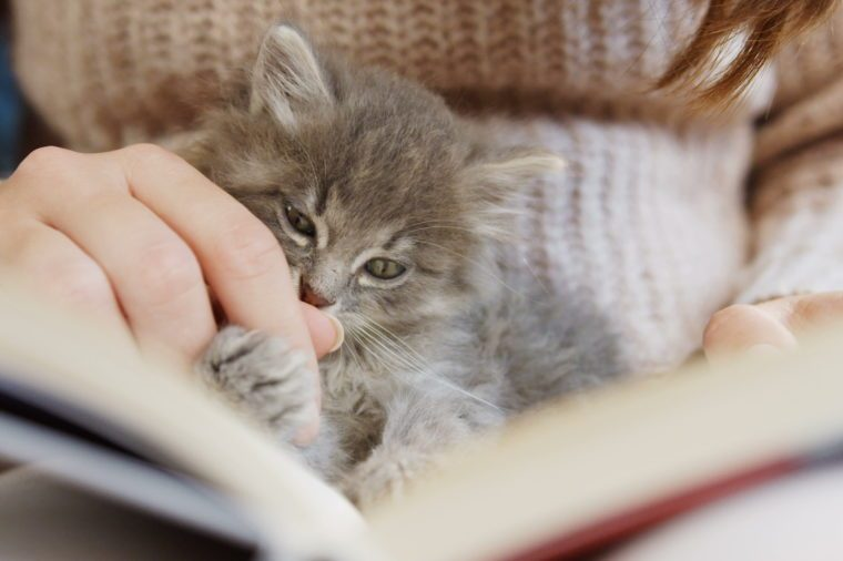 Close up of cute small grey cat licking a woman's hand and falling asleep on the book. Indoors