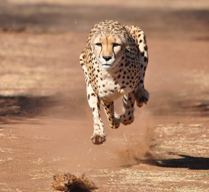 Cheetah running, completely airborne