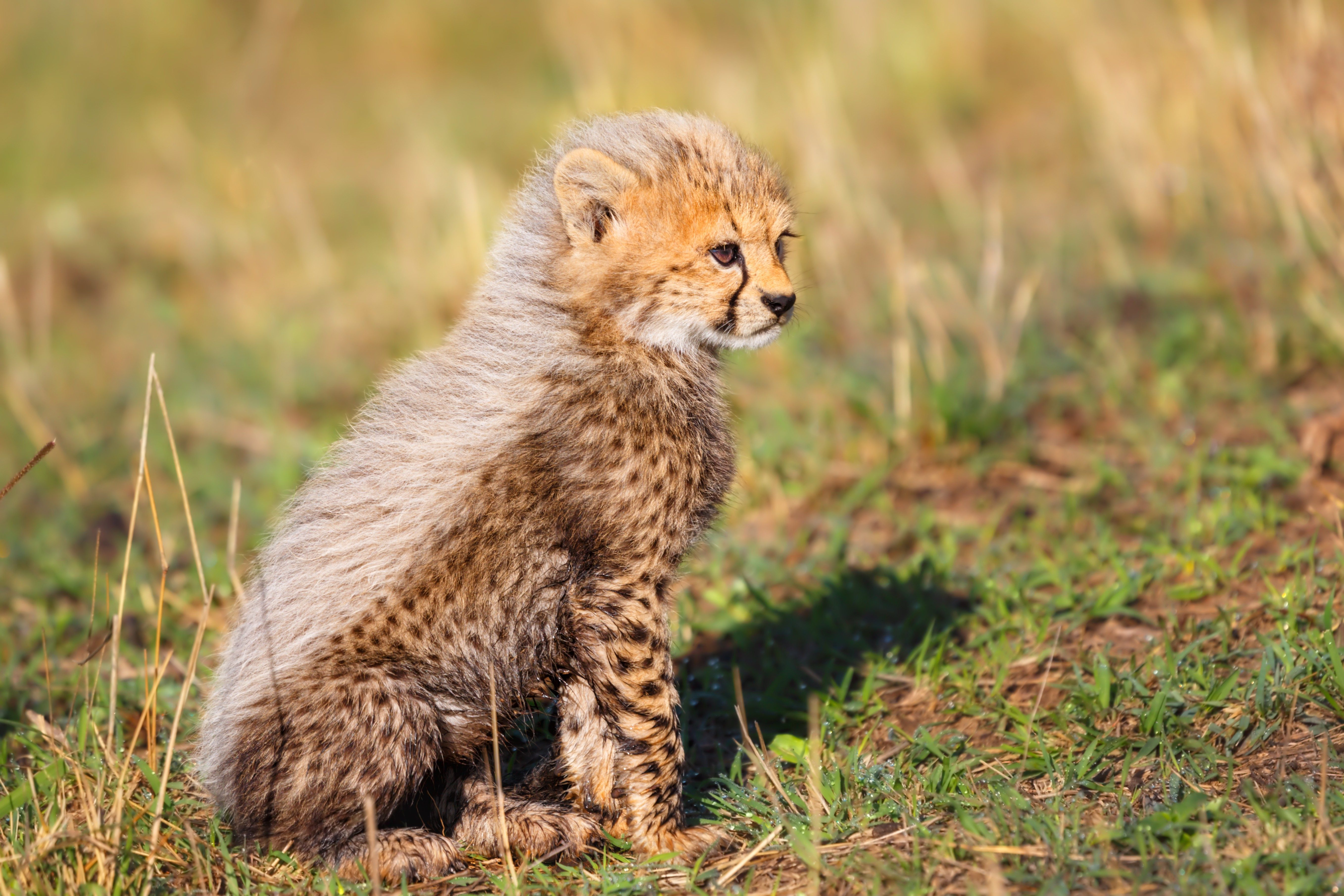 Seven weeks old Cheetah cub in Masai Mara, Kenya