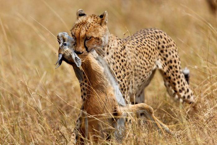 Cheetah female Narasha just hunted a Thomson gazelle in Masai Mara, Kenya