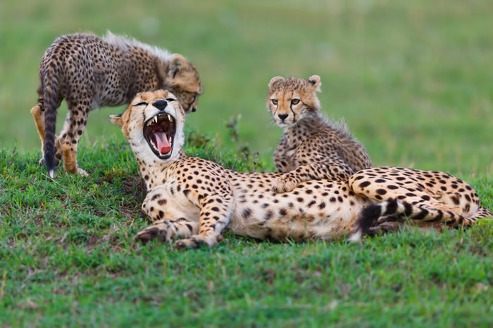 Tired Cheetah Nora with her two cubs in Masai Mara, Kenya