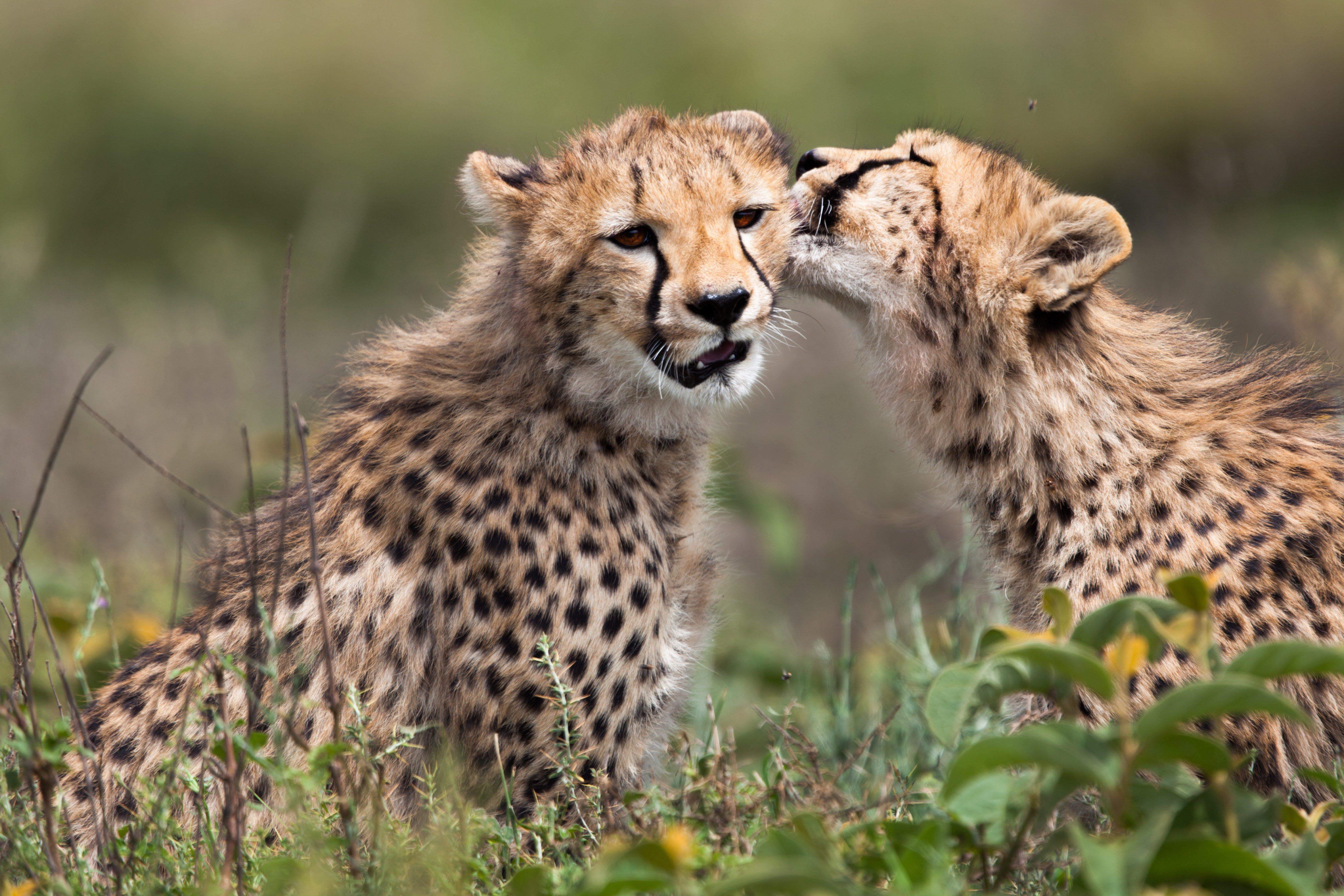 Cheetah cub licking his sister after eating