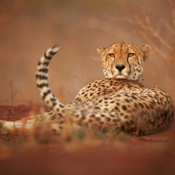 14 Amazing Photos of Cheetahs in the Wild