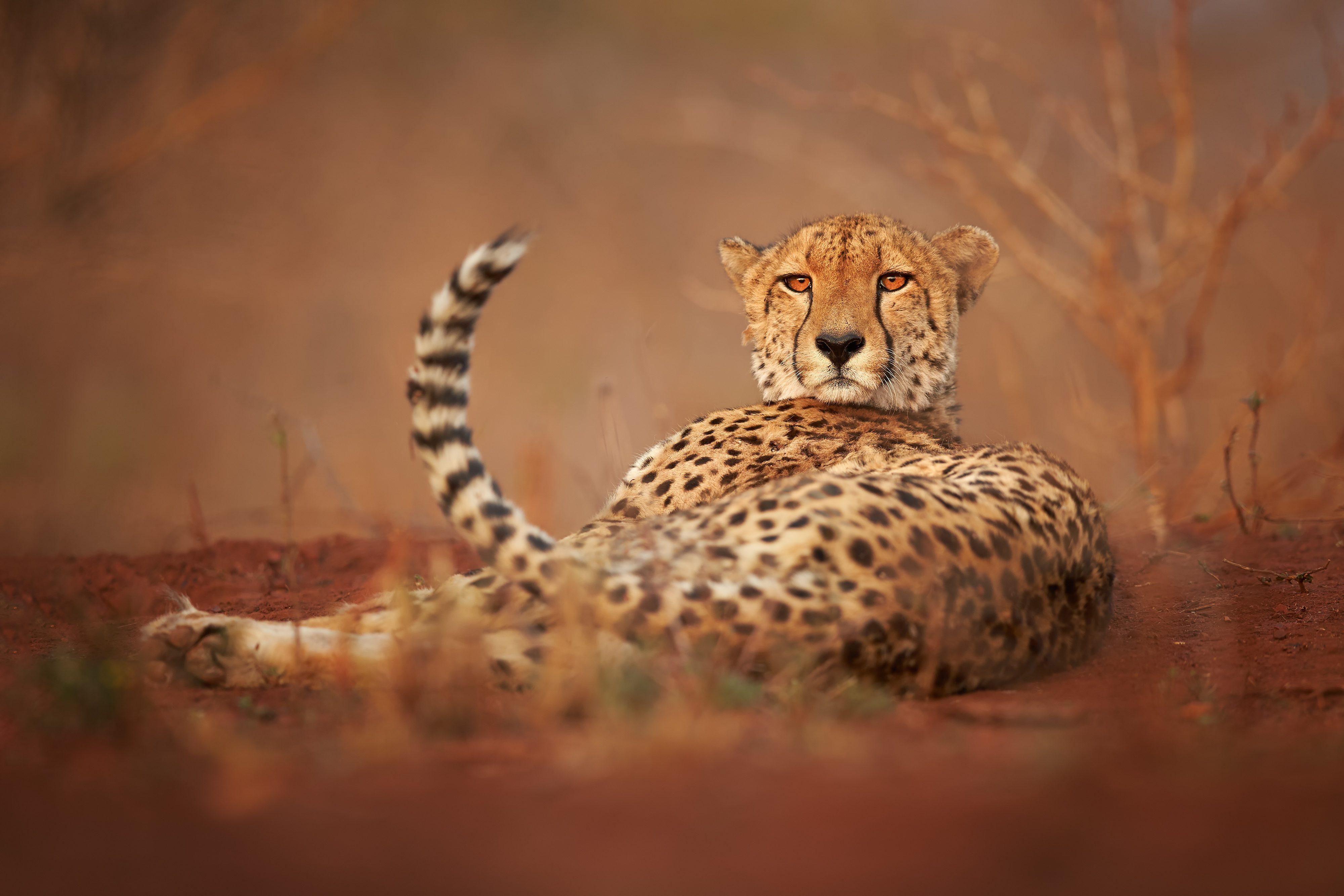 Wild Cheetah, Acinonyx jubatus, relaxing on reddish soil, staring directly at camera. Ground level photography. Typical KwaZulu Natal's dry forest environment. Zimanga, South Africa.