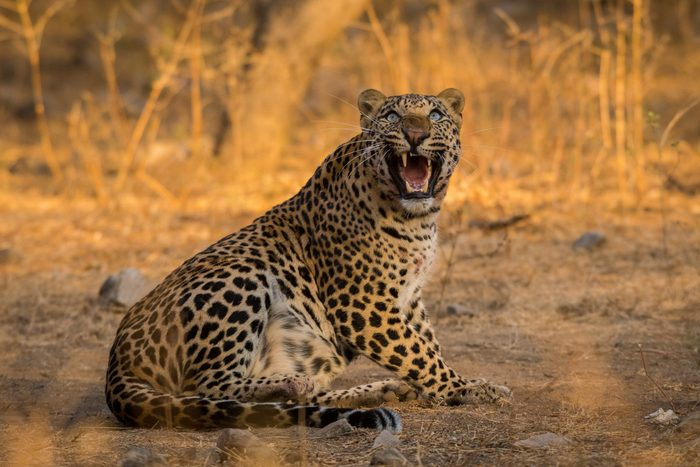 Survival of the fittest. An aggressive and intense look by a male leopard with a female blue bull kill in a morning drive at jhalana forest reserve, Jaipur, India