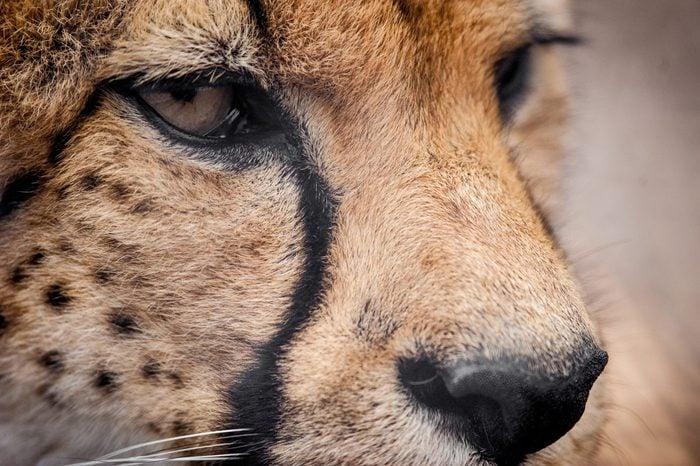 Yawning Cheetah in the savannah of the Masai Mara, Kenya