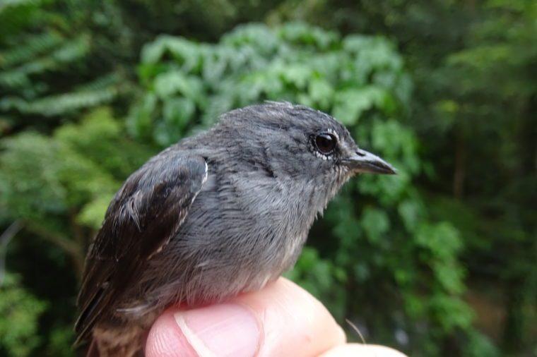 honeyeater bird new species