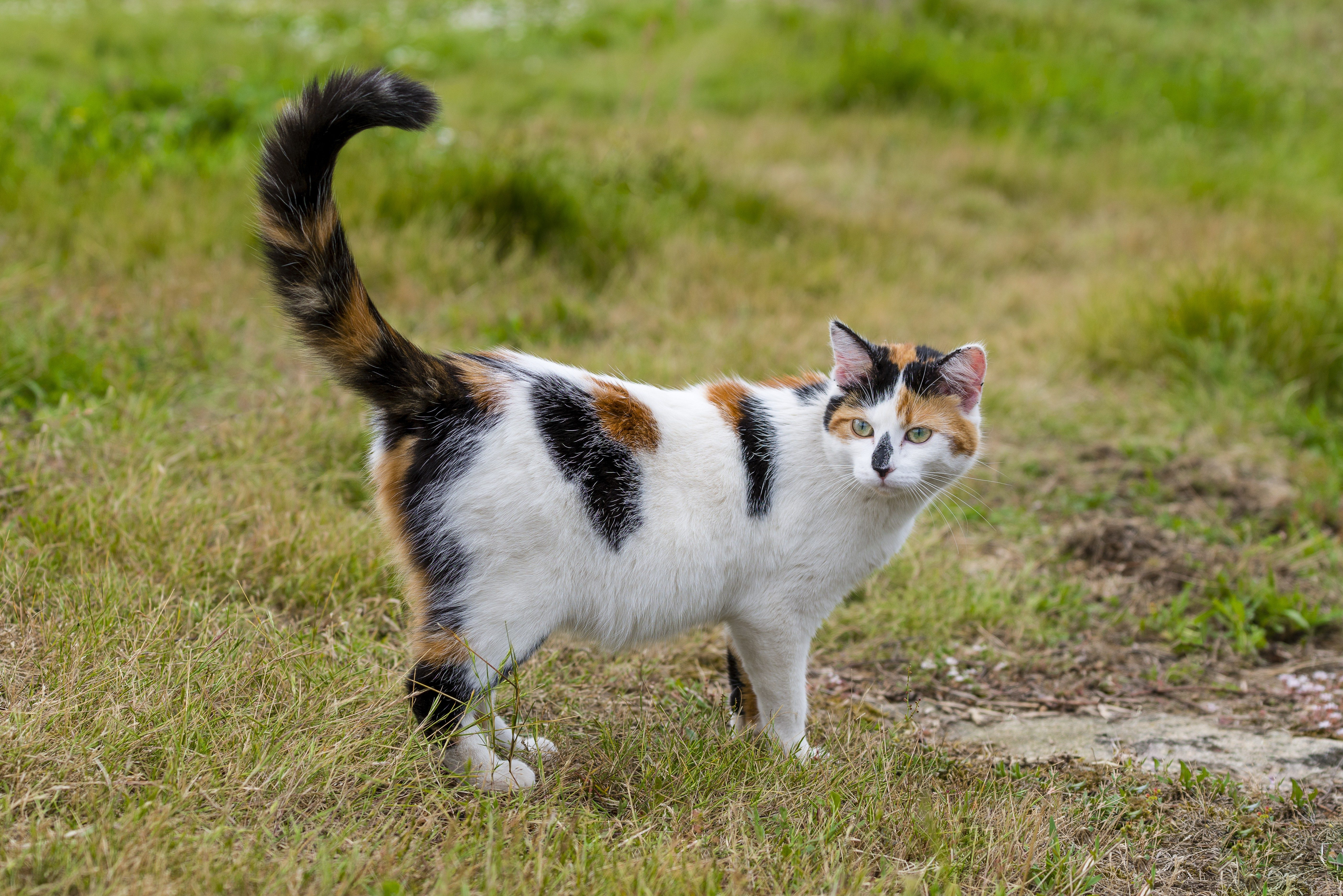 One cute mixed-breed cat standing on grass with its raised tail. Outdoors portrait of domestic cat in color image