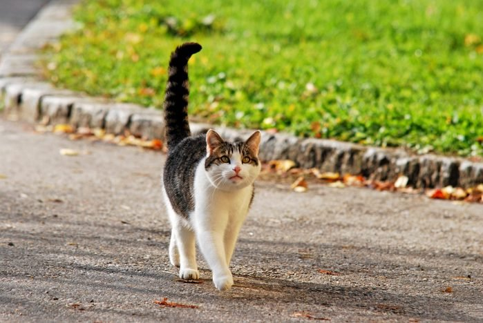 cat with extended tail walking on the street