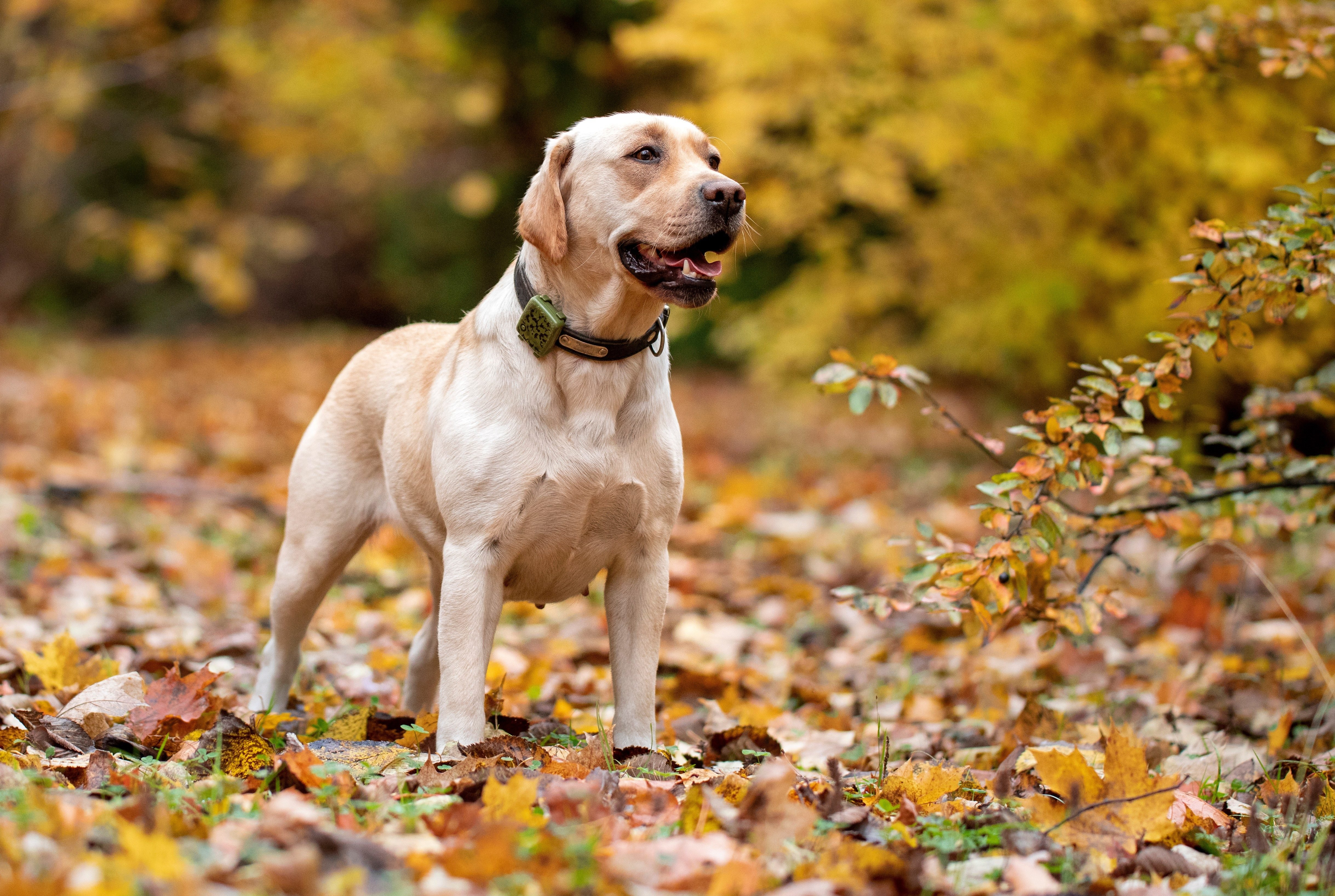 Labrador Retriever in the autumn forest with a tracker on his neck.