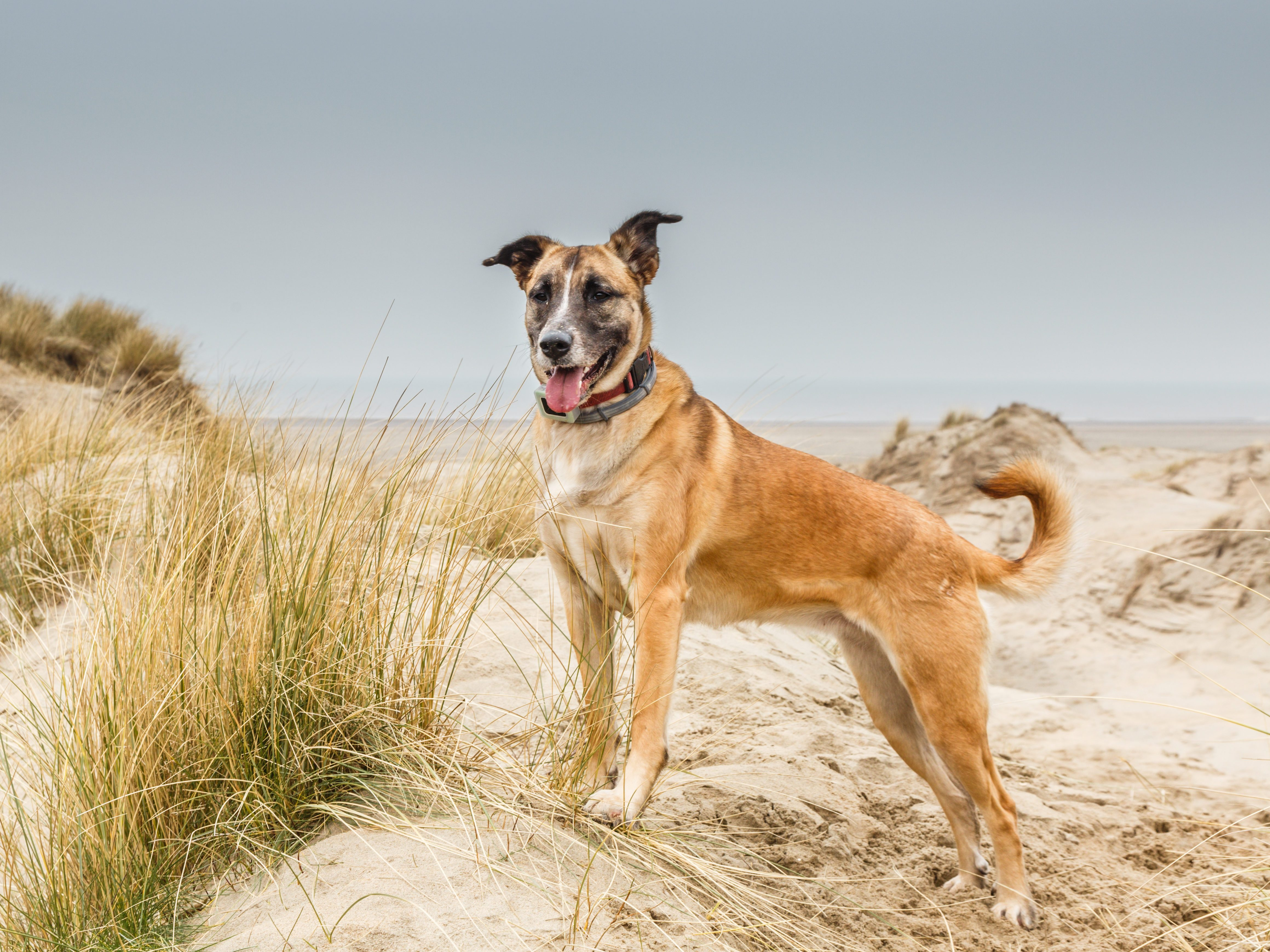 A beautiful Belgian shepherd posing standing in a dune landscape with a proudly raised head and a collar with GPS tracker around her neck looking from low right to high left in the photo